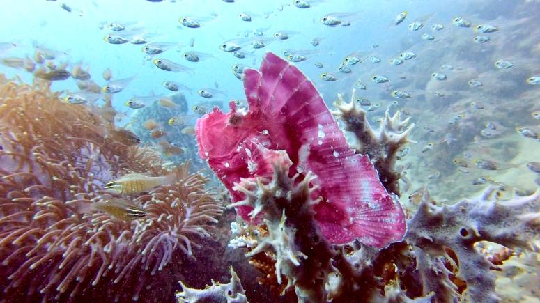 TL Purple Scorpionfish.jpg