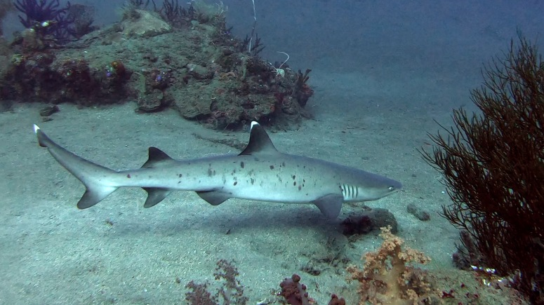 TL White Tip Reef Shark.jpg